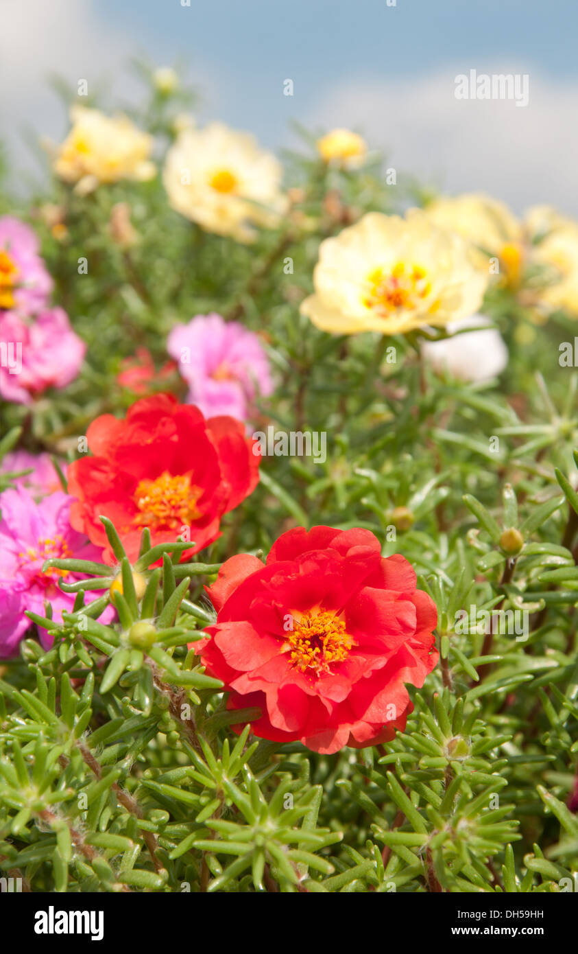 Moss Rose Yellow Red Color Stock Photos & Moss Rose Yellow Red Color ...