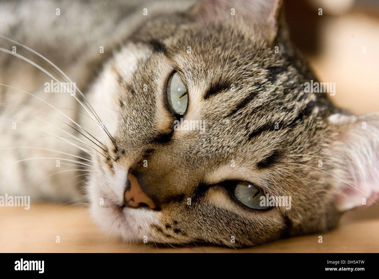 Domestic cat, male cat taking a sunbath - Stock Image