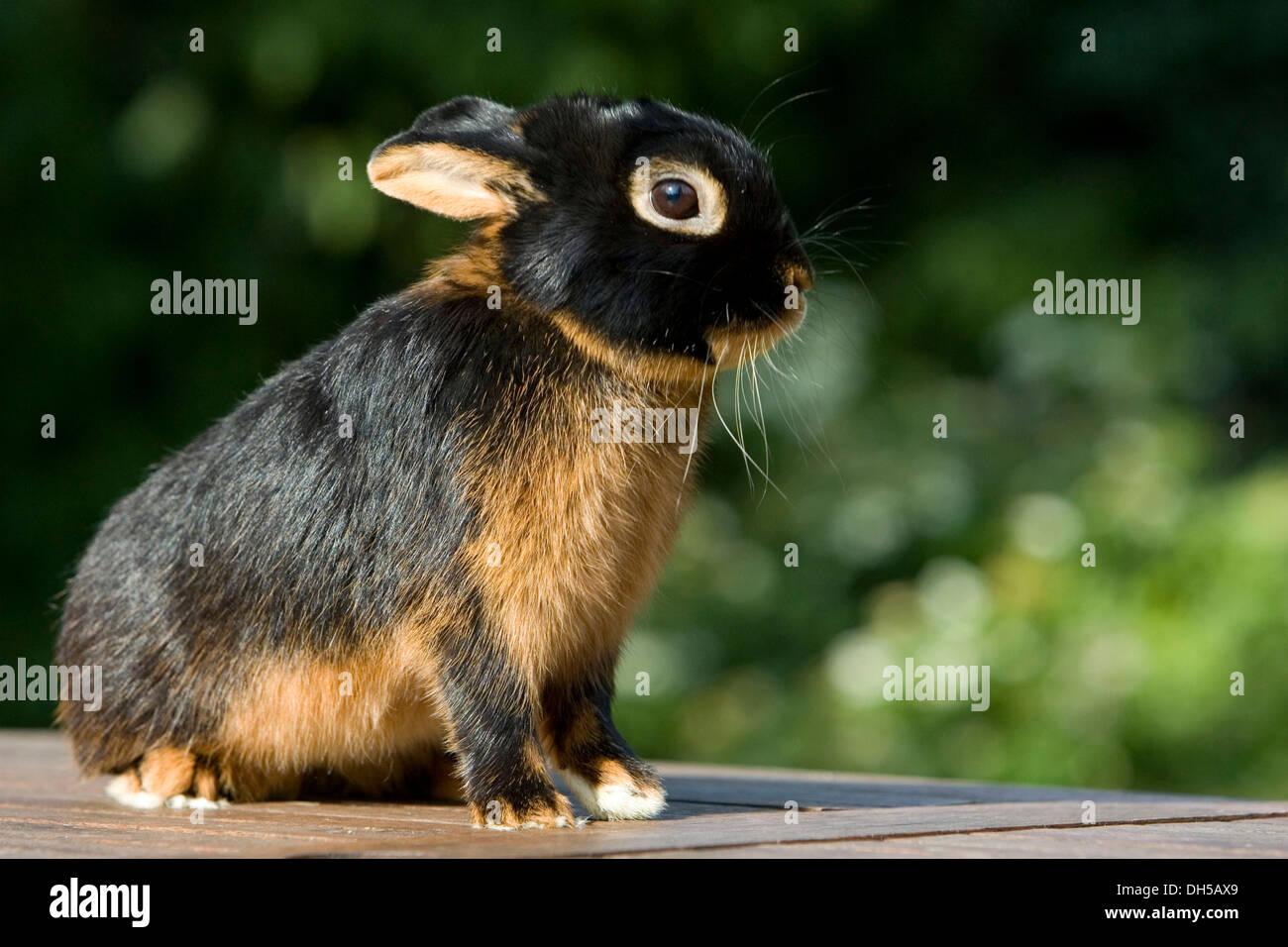 Netherland Dwarf, rabbit breed, black tan - Stock Image