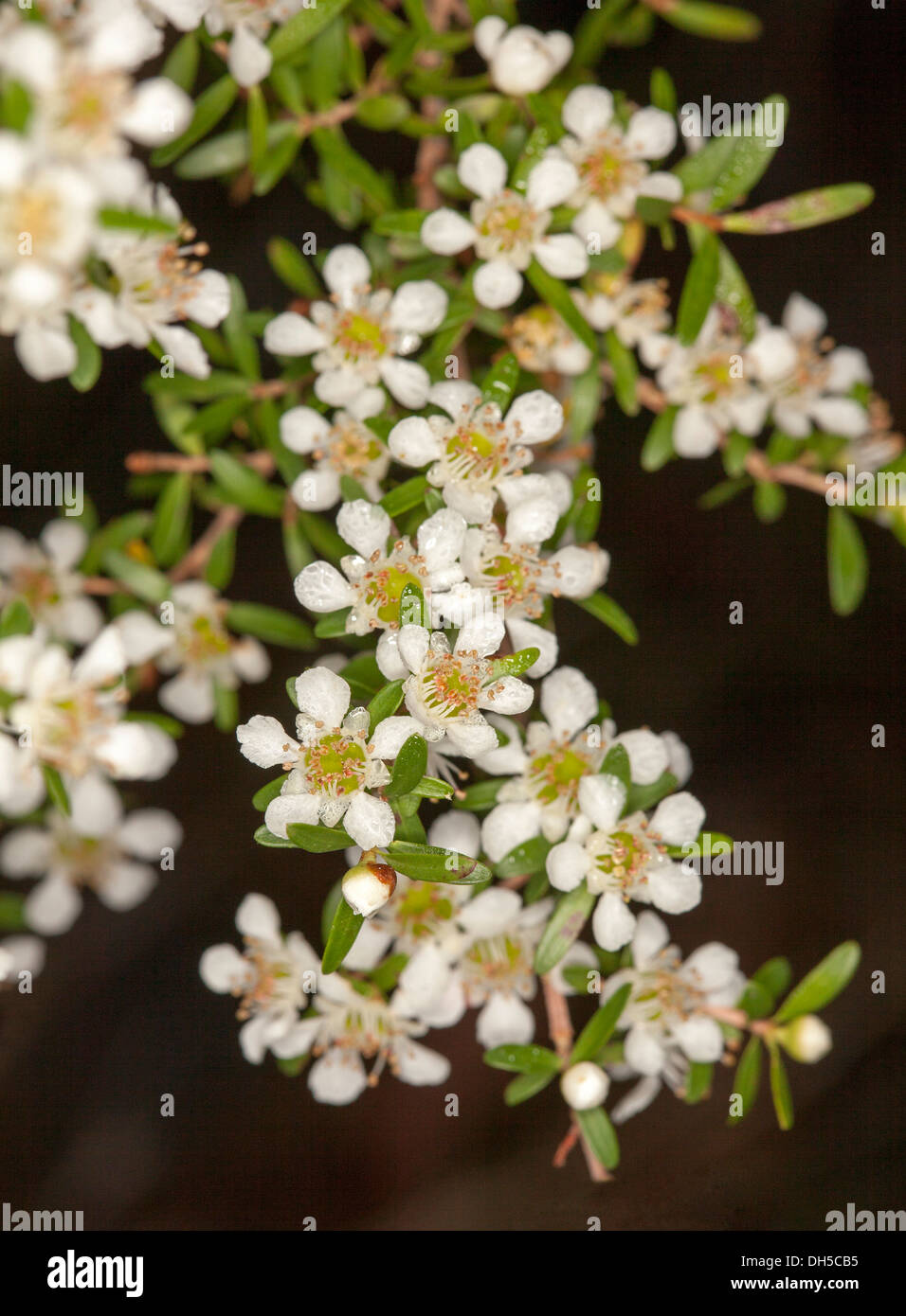 Cluster of white flowers and leaves of leptospermum liversidgei cluster of white flowers and leaves of leptospermum liversidgei olive tea tree australian wildflowers growing in a forest mightylinksfo