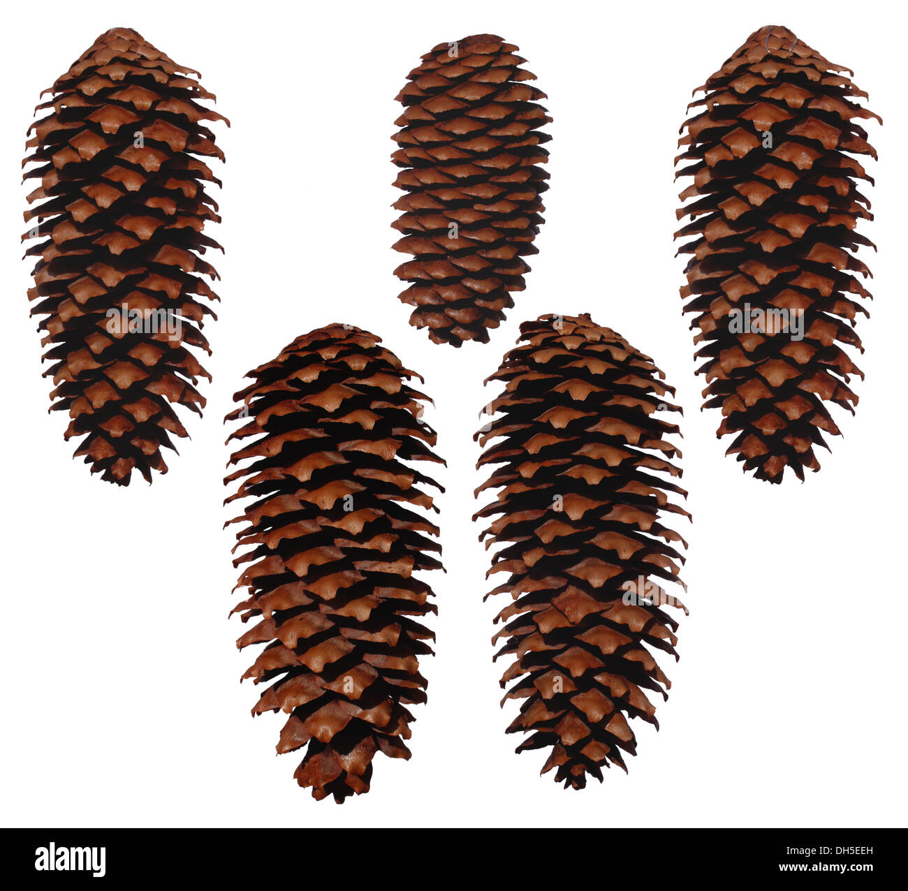 Five pinecones from Spruces - Stock Image