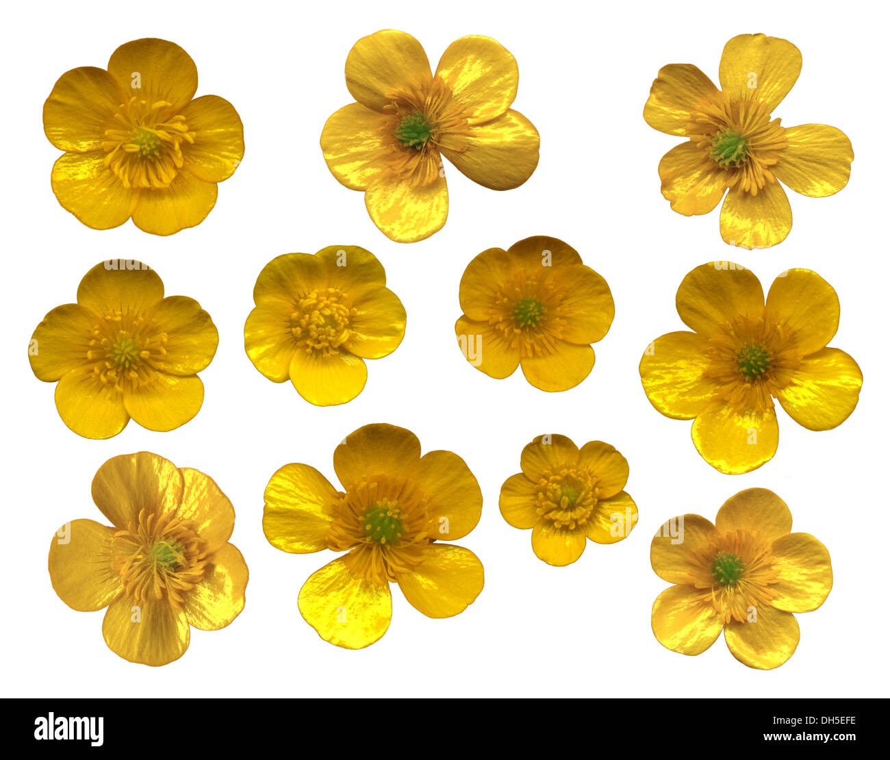 buttercups blossoms on white background - Stock Image
