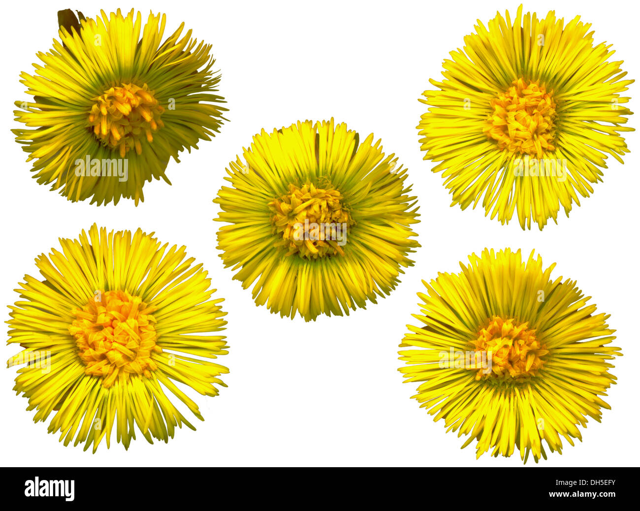 Five Coltsfoot blossoms on white background - Stock Image