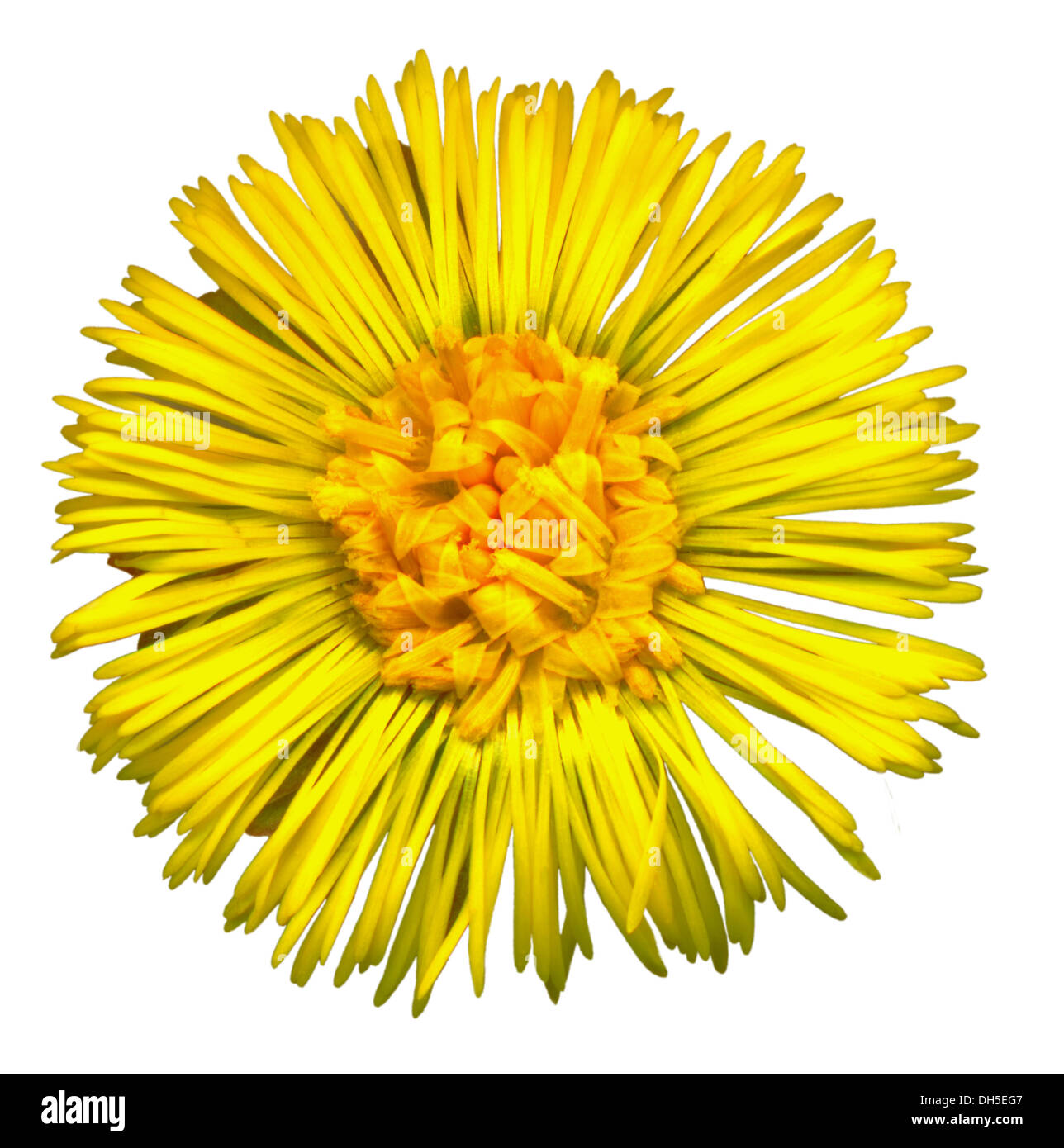 Coltsfoot blossom on white background - Stock Image