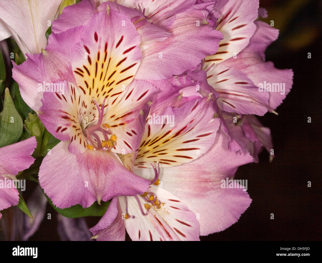 Cluster Of Mauve And White Flowers Of Alstroemeria Peruvian Stock