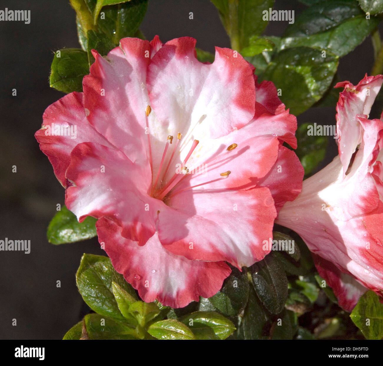 White and pink edged flower of azalea indica gay paree and dark white and pink edged flower of azalea indica gay paree and dark green foliage mightylinksfo