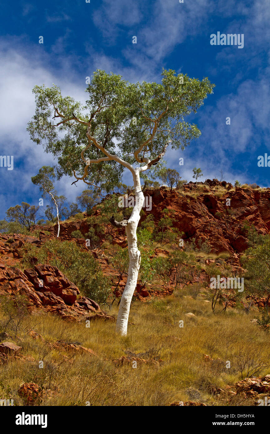 Rocky hillside in outback Australia with green foliage of iconic white trunked ghost gum rising into blue sky - Stock Image