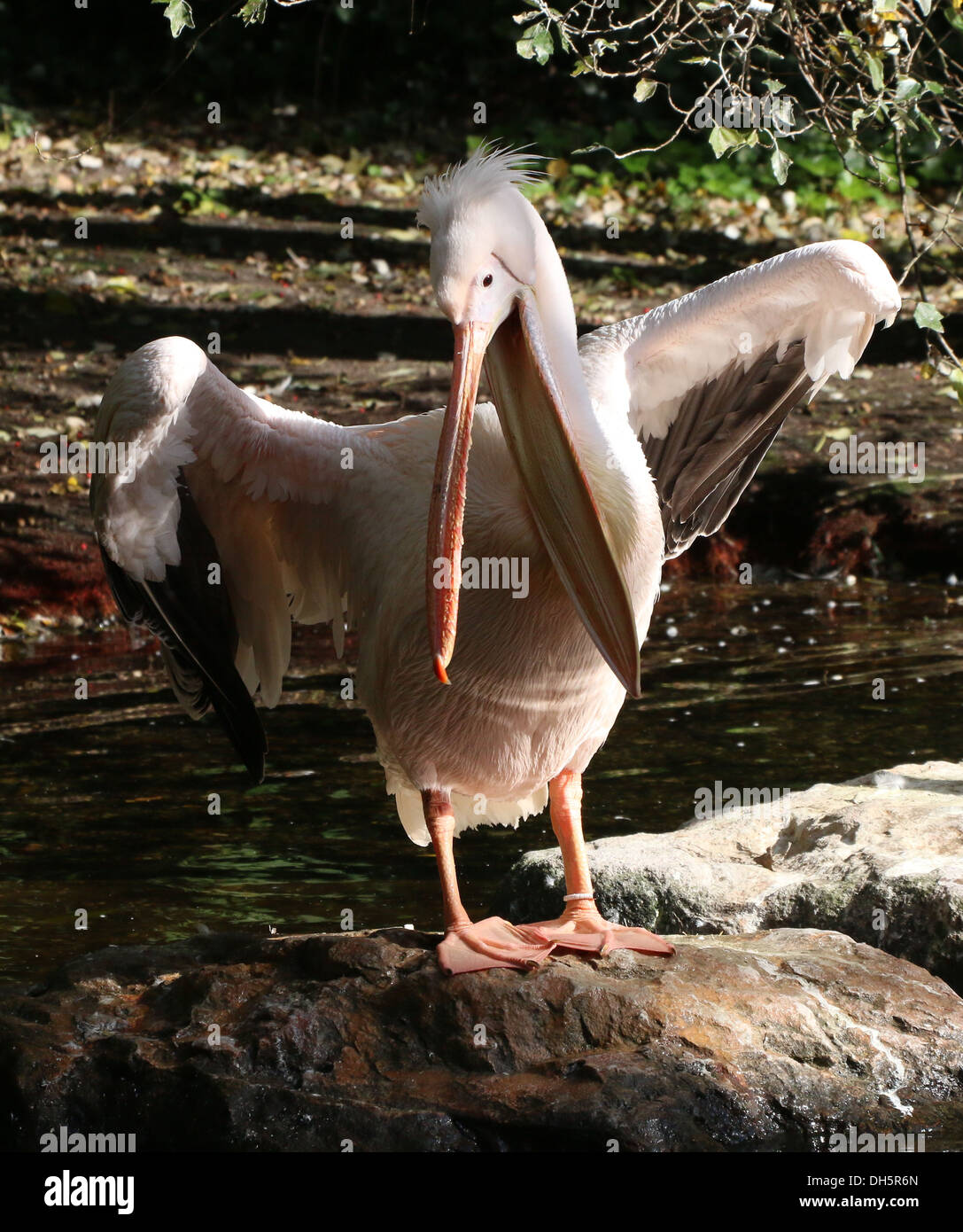 Great White Pelican (Pelecanus onocrotalus) flapping wings while preening Stock Photo