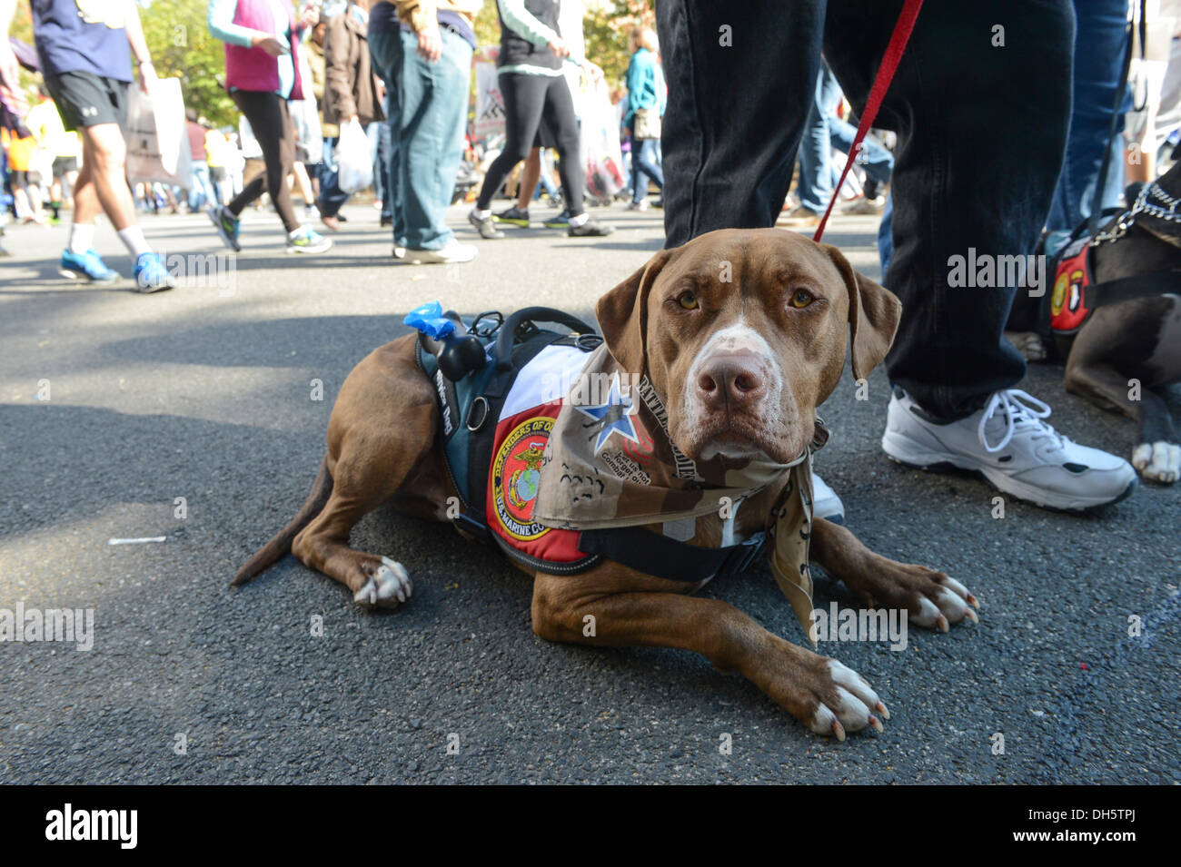 Rome, a pitbull with the Northwest Battle Buddies service dogs rests in the shade at the 38th Annual Marine Corps Marathon's Finish Festival in Arlington, Va., Oct. 27, 2013. Known as 'The People's Marathon,' the 26.2 mile race, rated the 3rd largest mara - Stock Image