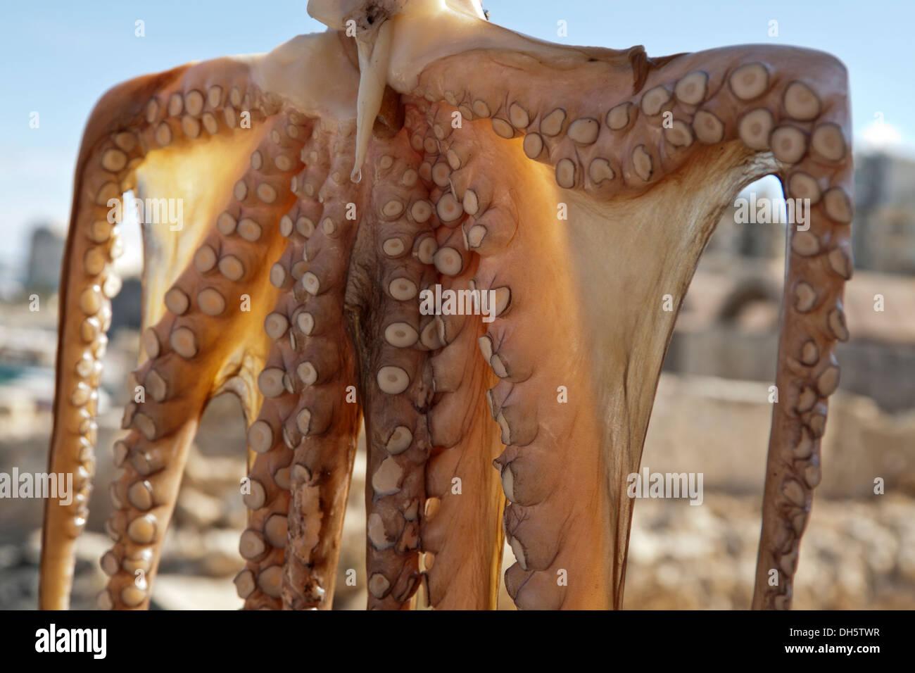 Octopus for sale in the Venetian harbor of Heraklion, Heraklion region, Crete, Greece. - Stock Image