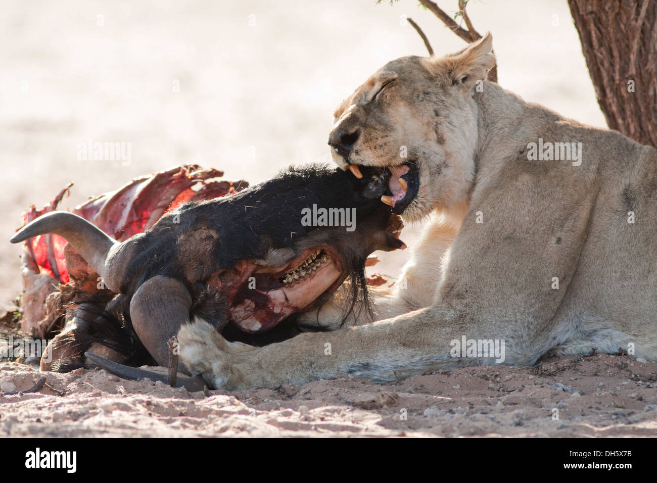 African lioness biting down on a kill in the Kalahari desert Stock Photo