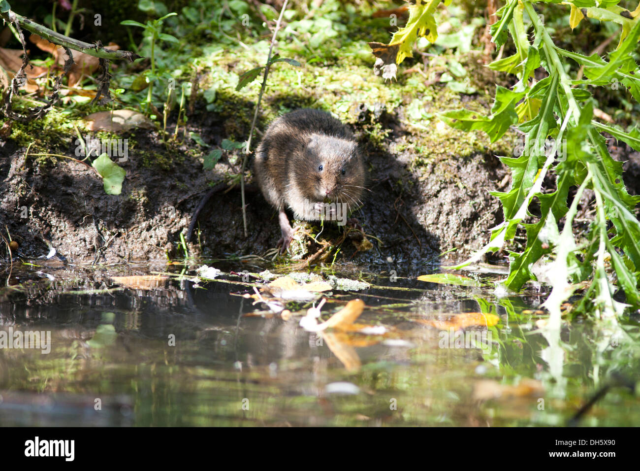 European Water Vole at a riverbank in the UK. September - Stock Image