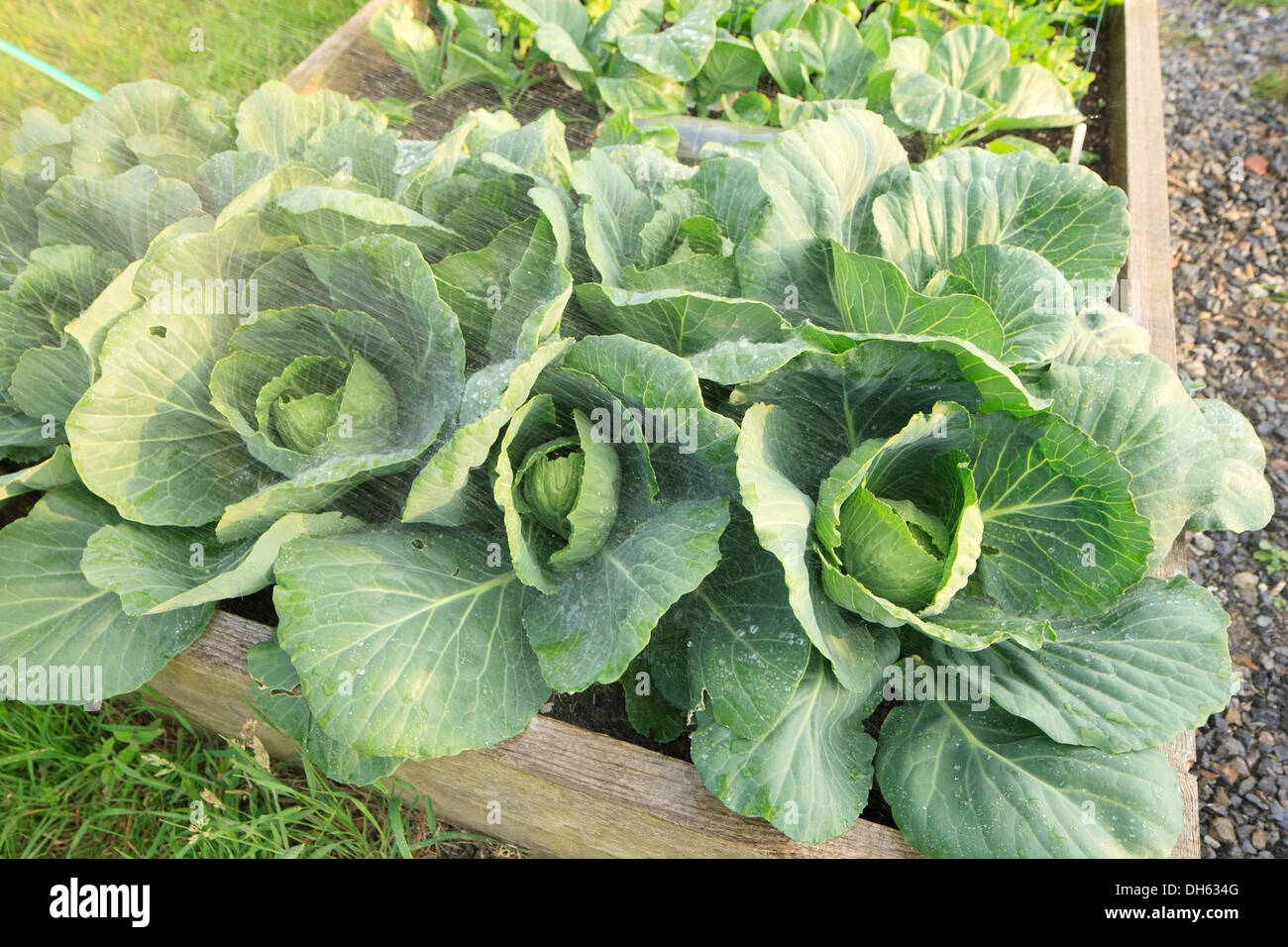 Watering Homegrown vegetables - Stock Image