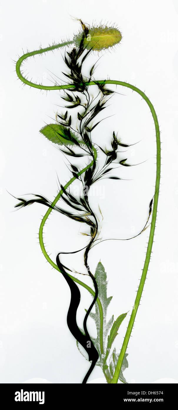 beautiful fine art interpretation of poppies and grass  Jane Ann Butler Photography  JABP1015 - Stock Image