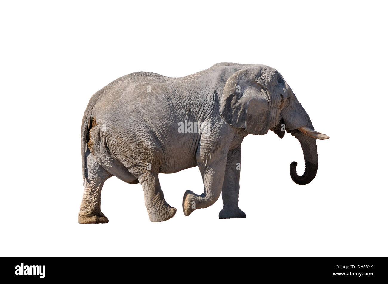 Elephant walking in the Etosha National Park, Namibia - Stock Image