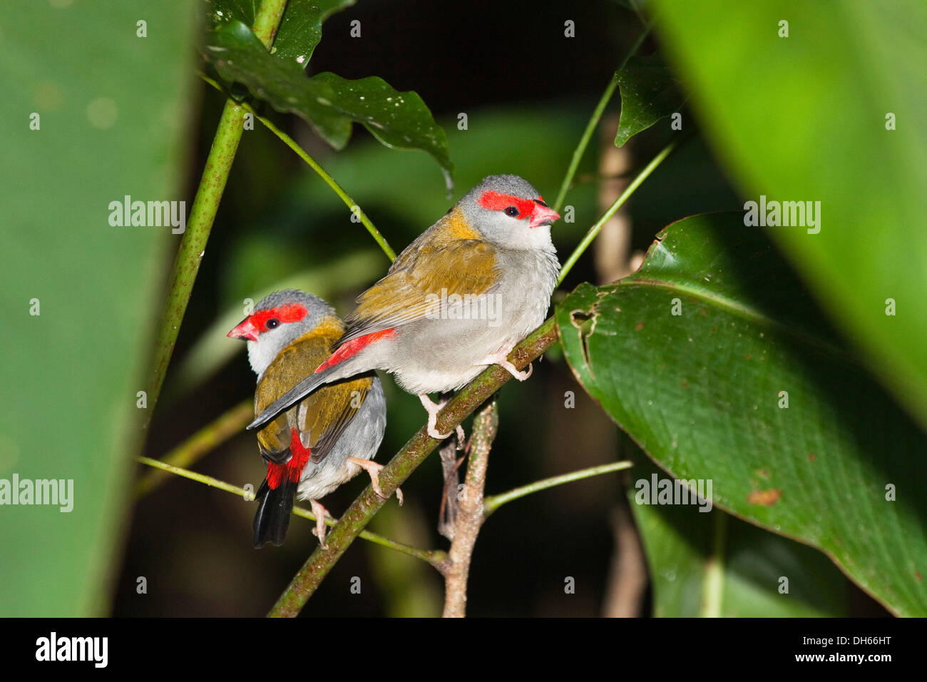 Pair of Red-browed Finches (Neochmia temporalis), Queensland, Australia Stock Photo