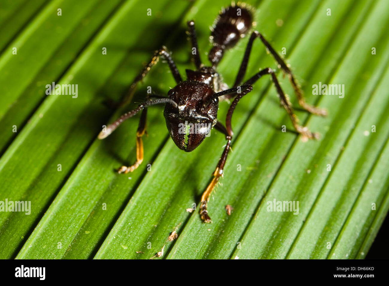 Lesser Giant Hunting Ant, Conga Ant or Bullet Ant (Paraponera clavata) in the lowland rainforest, Braulio Carrillo National Park Stock Photo