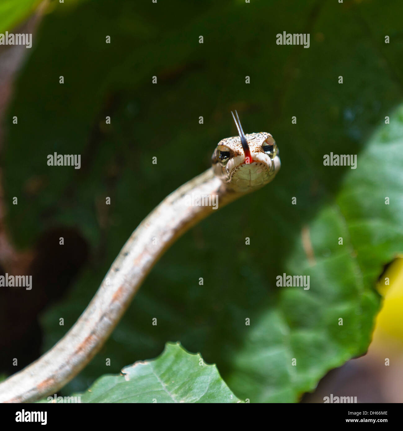 Twig or Bird Snake (Thelotornis capensis), on rainforest floor, Mahale Mountains National Park, Tanzania, East Africa, Africa - Stock Image