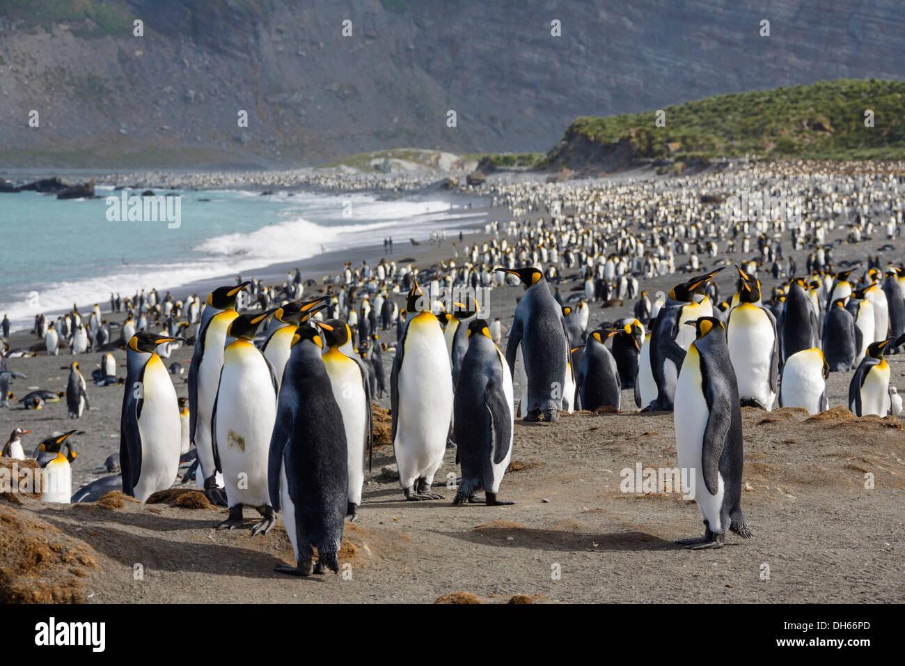 Breeding colony of King Penguins (Aptenodytes patagonicus), Gold Harbour, South Georgia, Subantarctic, Antarctica - Stock Image