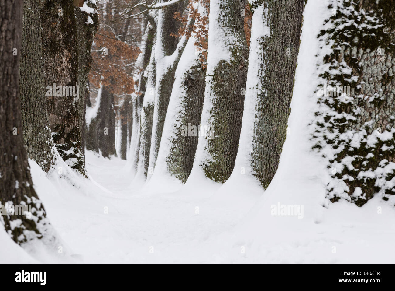Snow-covered trees, Oberbayern, Uffing, Bavaria, Germany - Stock Image