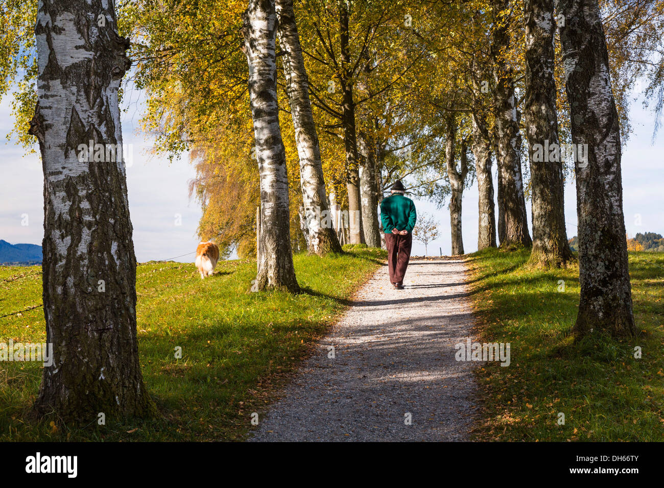 Rambler with a dog walking down a birch tree alley in autumn, Uffing, Upper Bavaria, Bavaria, Germany - Stock Image