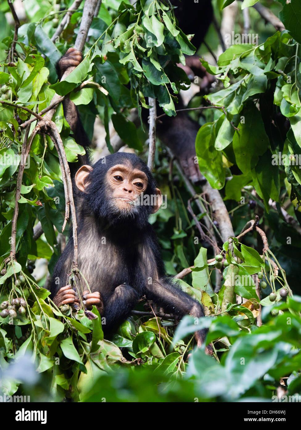 Young chimpanzee (Pan troglodytes), Mahale Mountains Nationalpark, Ostafrika, Tanzania - Stock Image