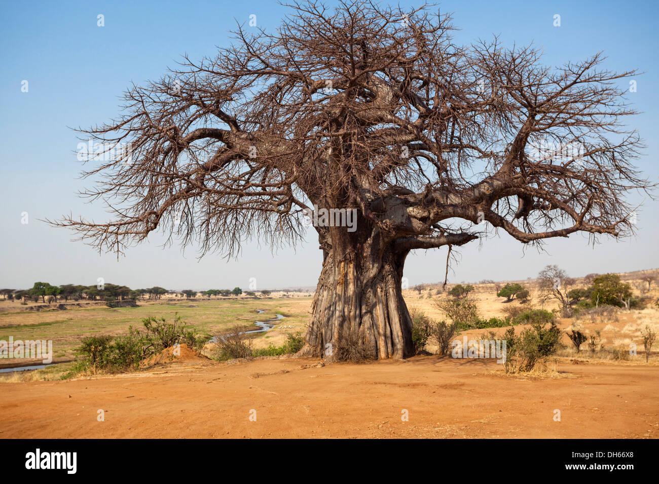 Baobab tree (Adansonia digitata), savannah, Ruaha Nationalpark, Ostafrika, Tanzania - Stock Image