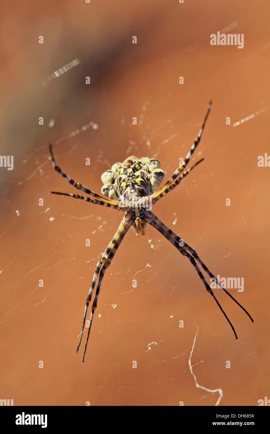 Garden Orb Spider (Argiope australis) in its web, Namib Desert, Namibia, Africa - Stock Image