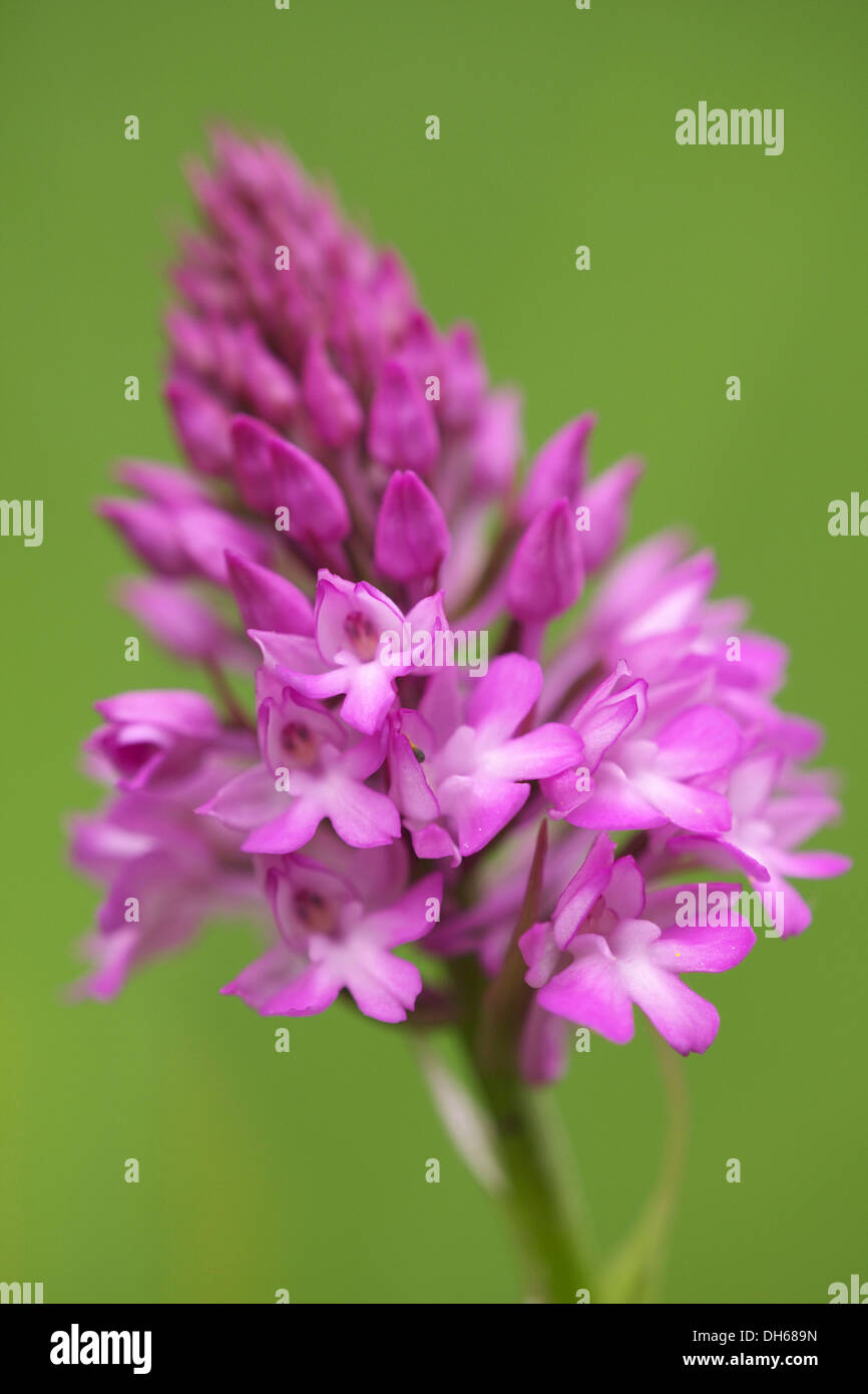 Pyramidal Orchid (Anacamptis pyramidalis) Stock Photo