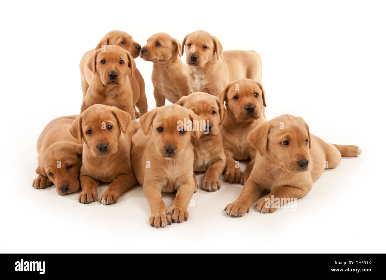 A litter of Ten Fox Red Labrador puppies - Stock Image
