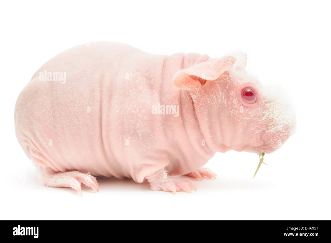 Hairless cavy isolated in front of a white background. - Stock Image