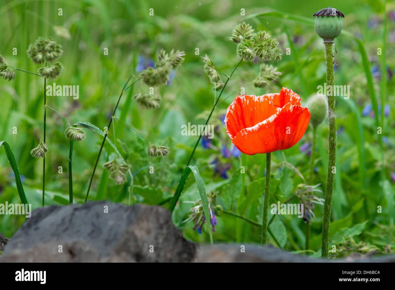 Red Poppy Flower Field Armenia Stock Photo 62220932 Alamy