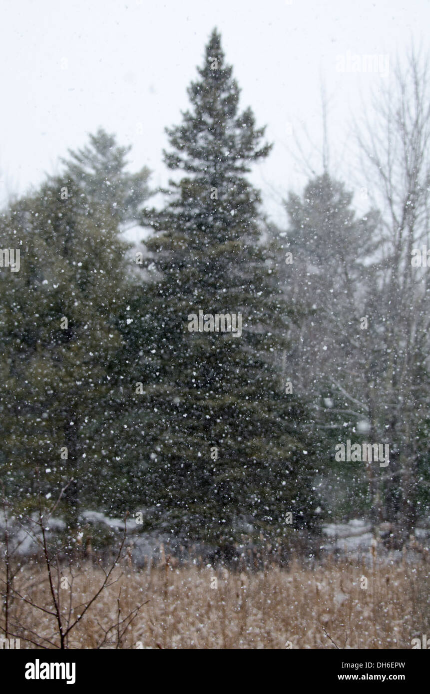 Snow falling in front of spruces trees in Acadia National Park, Maine. - Stock Image