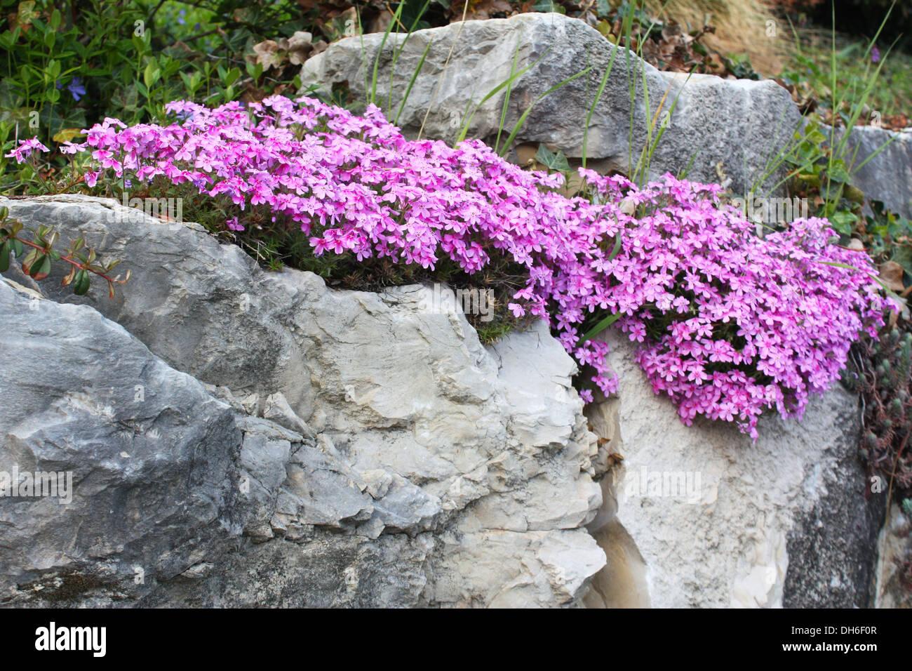 Flowering plants between stone rocks Stock Photo