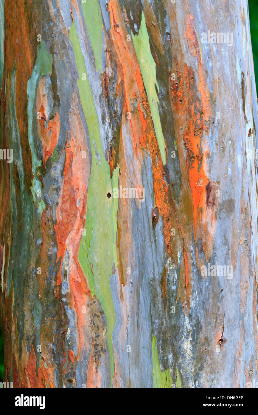 The multi-colored bark of a Eucalyptus tree looks like an abstract painting in Arenal National Park, Costa Rica - Stock Image