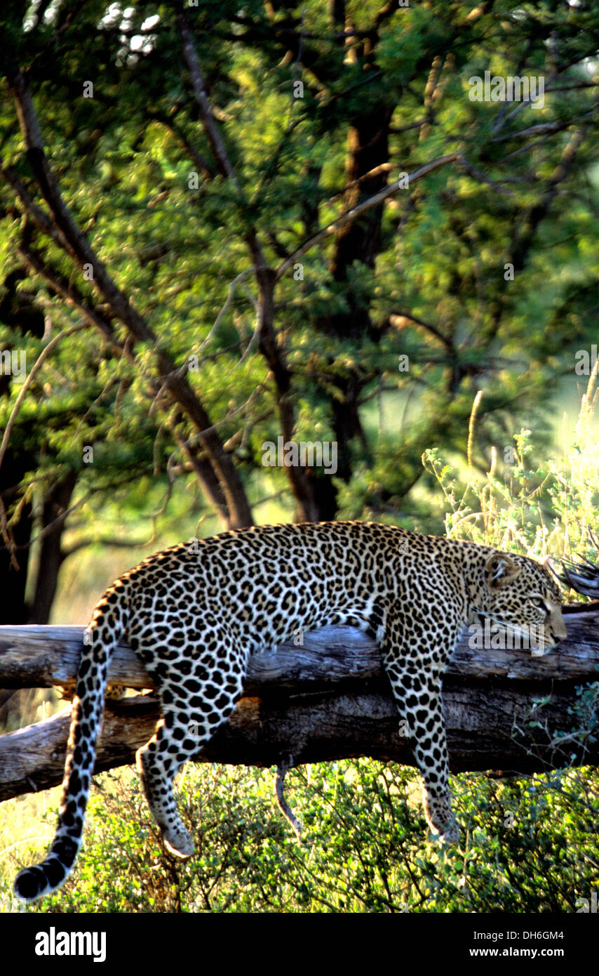 Leopard (Panthera pardus) resting on fallen tree in Serengeti National Park, Tanzania, Africa - Stock Image