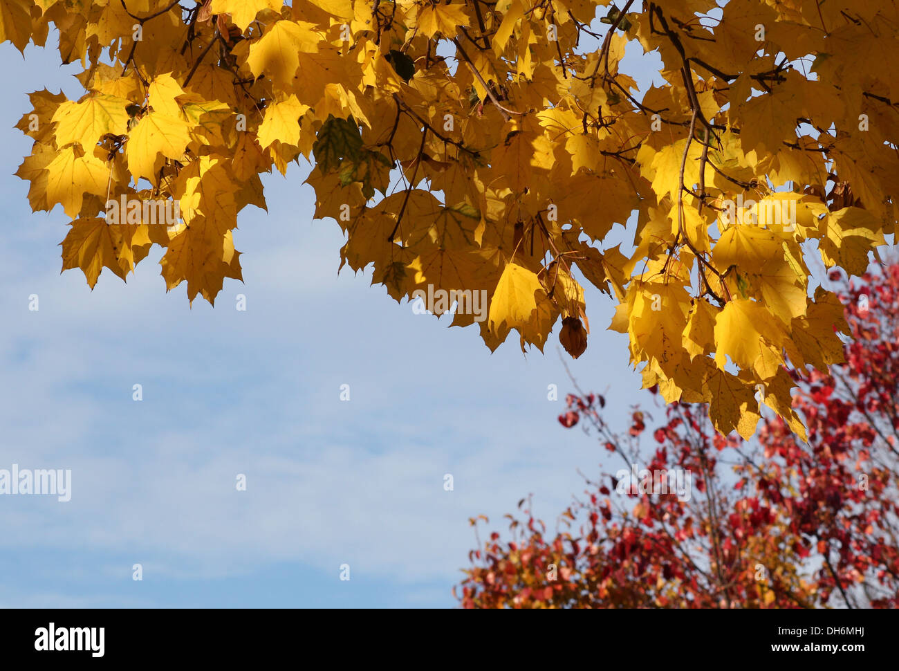Maple tree yellow autumn leaves against a blue sky. - Stock Image