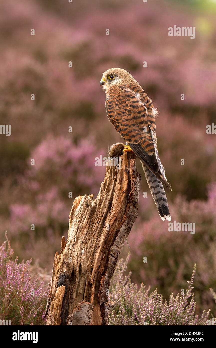 Kestrel, Falco tinnunculus with its prey, in heather - Stock Image