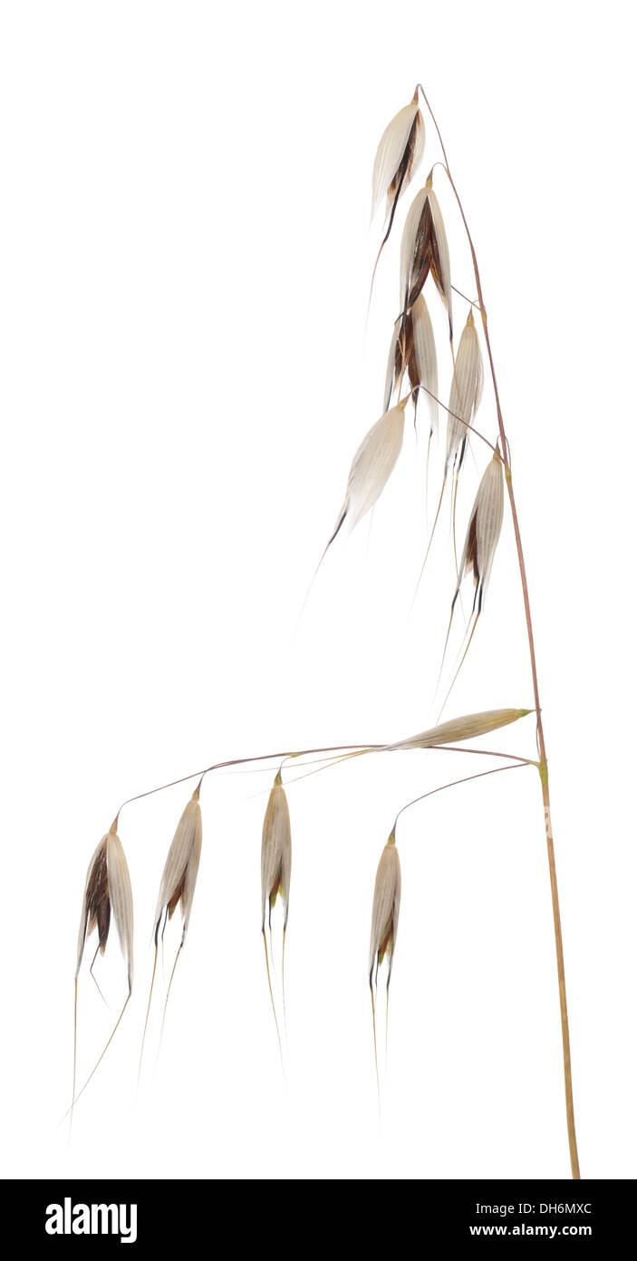 deaf oat (Avena fatua) on white background Stock Photo