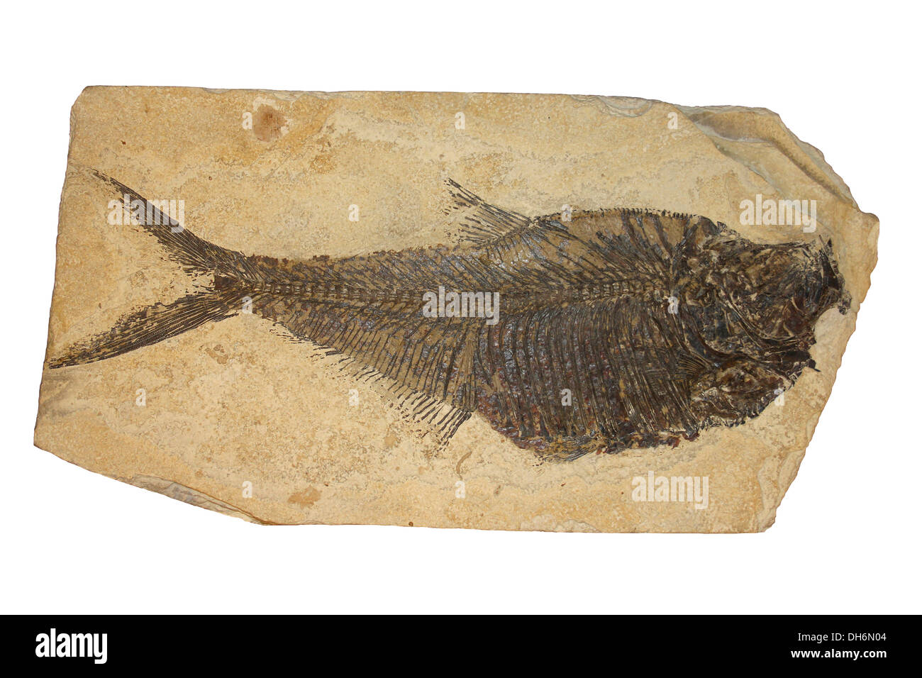 Diplomystus sp. lower Eocene deposits of the Green River Formation in Wyoming, USA - Stock Image