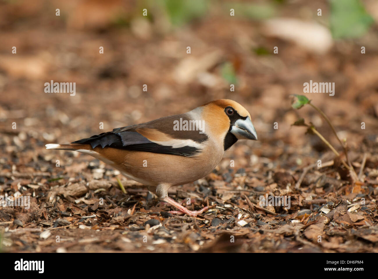 Adult Male feeding on seeds on ground. - Stock Image