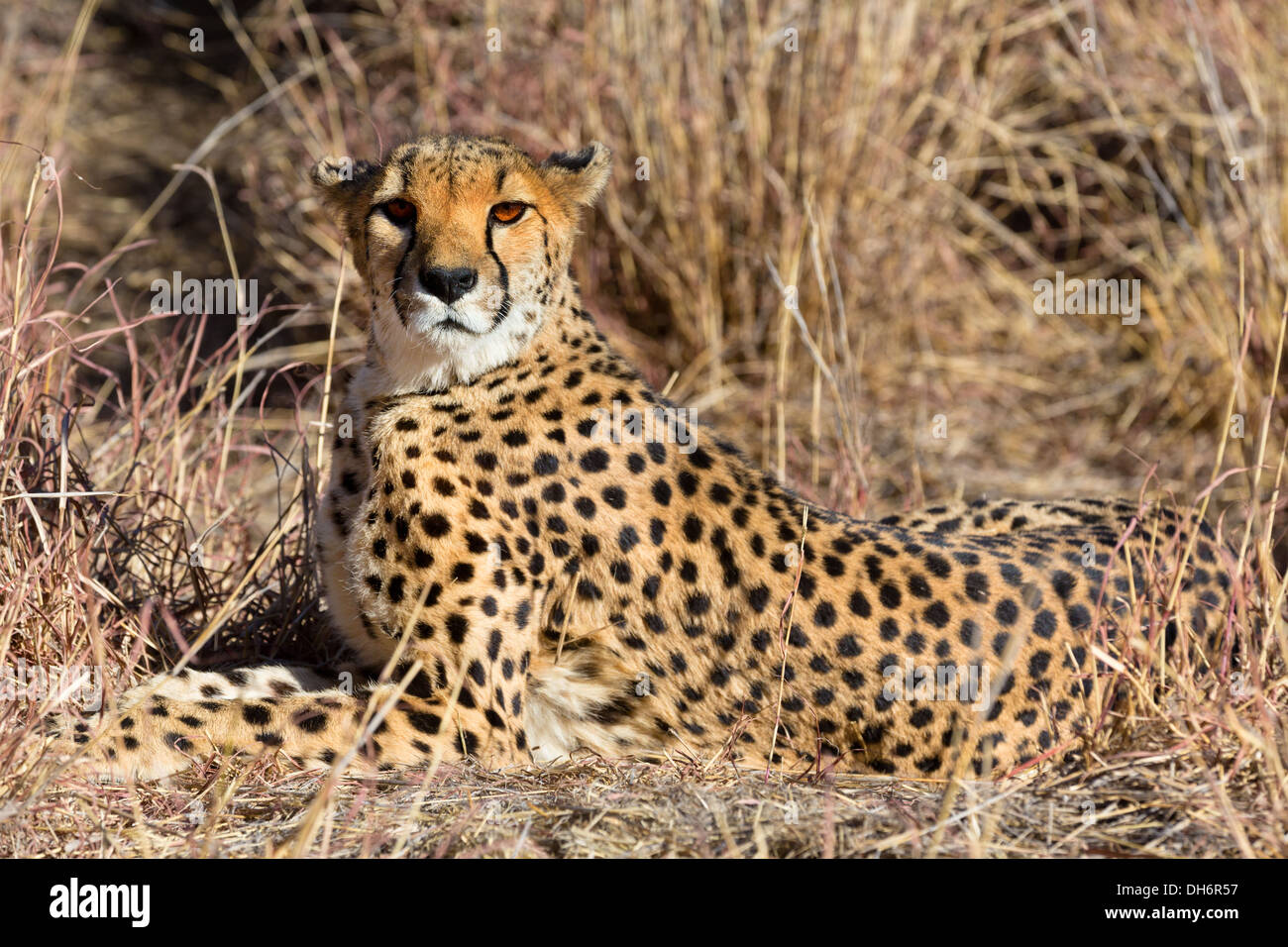 View of relaxed wild Cheetah watching the savannah in Namibia, South Africa - Stock Image