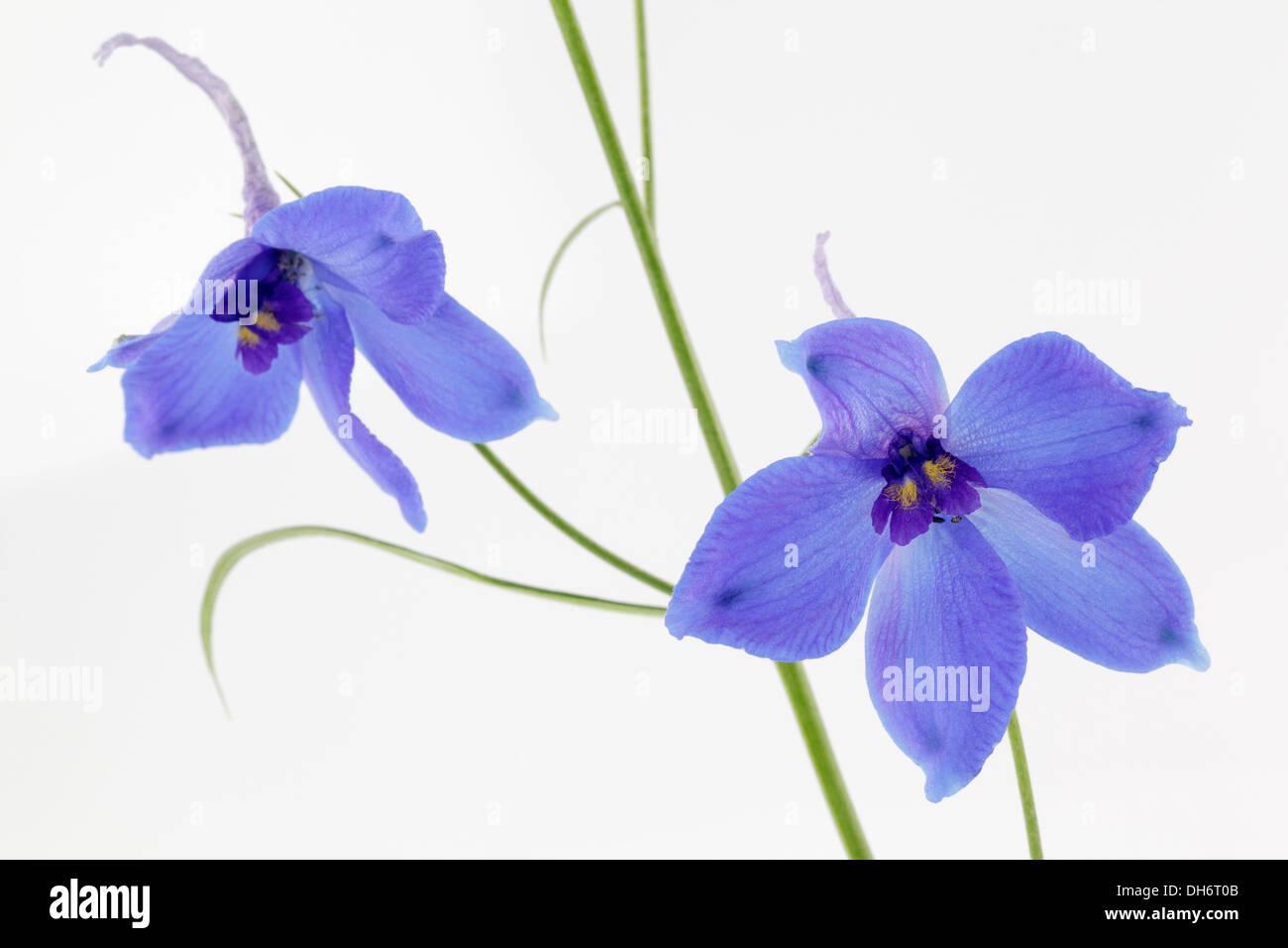 Blue Delphiniums on white background - Stock Image
