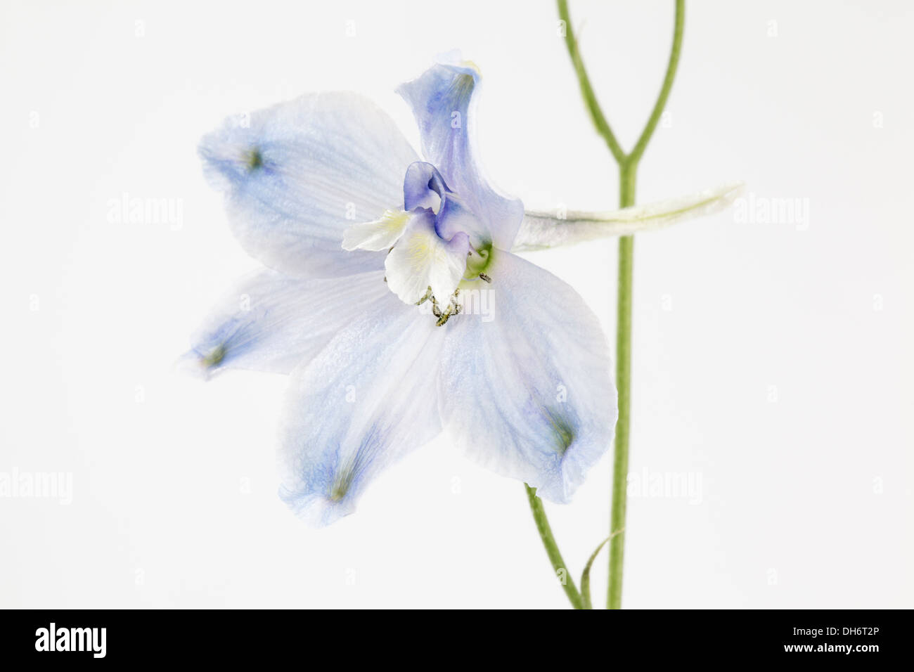 pale blue Delphinium - Stock Image