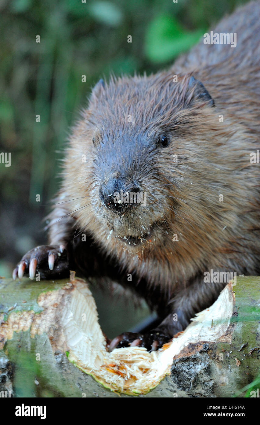 Beaver Chewing Tree Stock Photos & Beaver Chewing Tree Stock Images ...