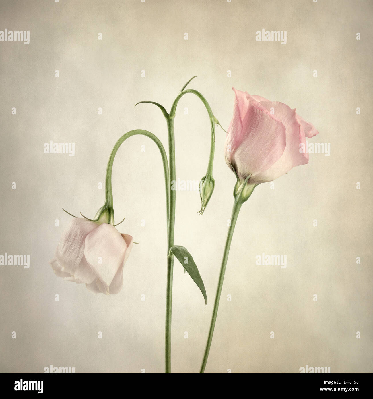 Two pink Eustoma with texture overlay - Stock Image
