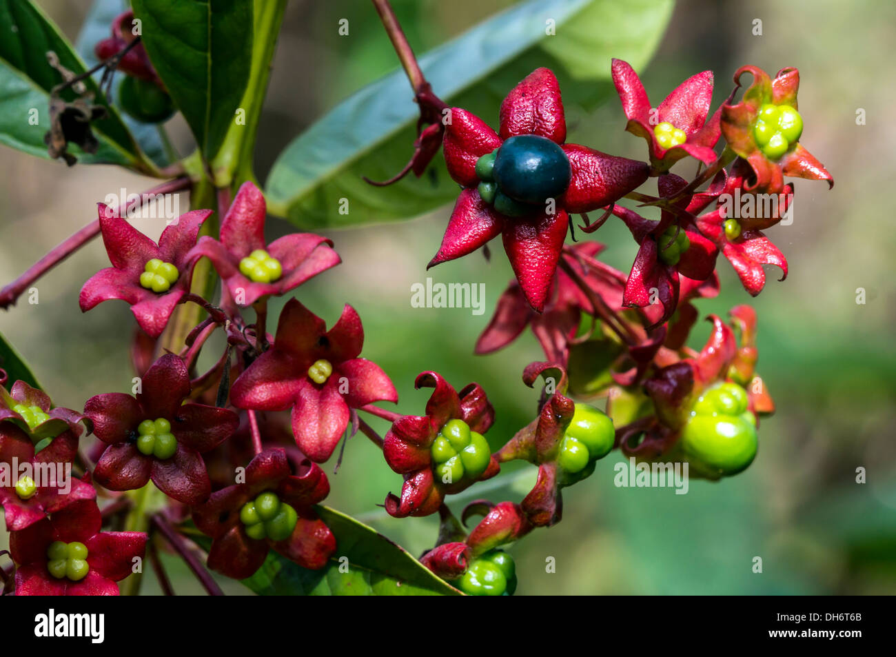 Harlequin Glory Bower (Clerodendrum trichotomum) or Peanut Butter Shrub with blue berries and red calyxes in North Florida, USA. - Stock Image
