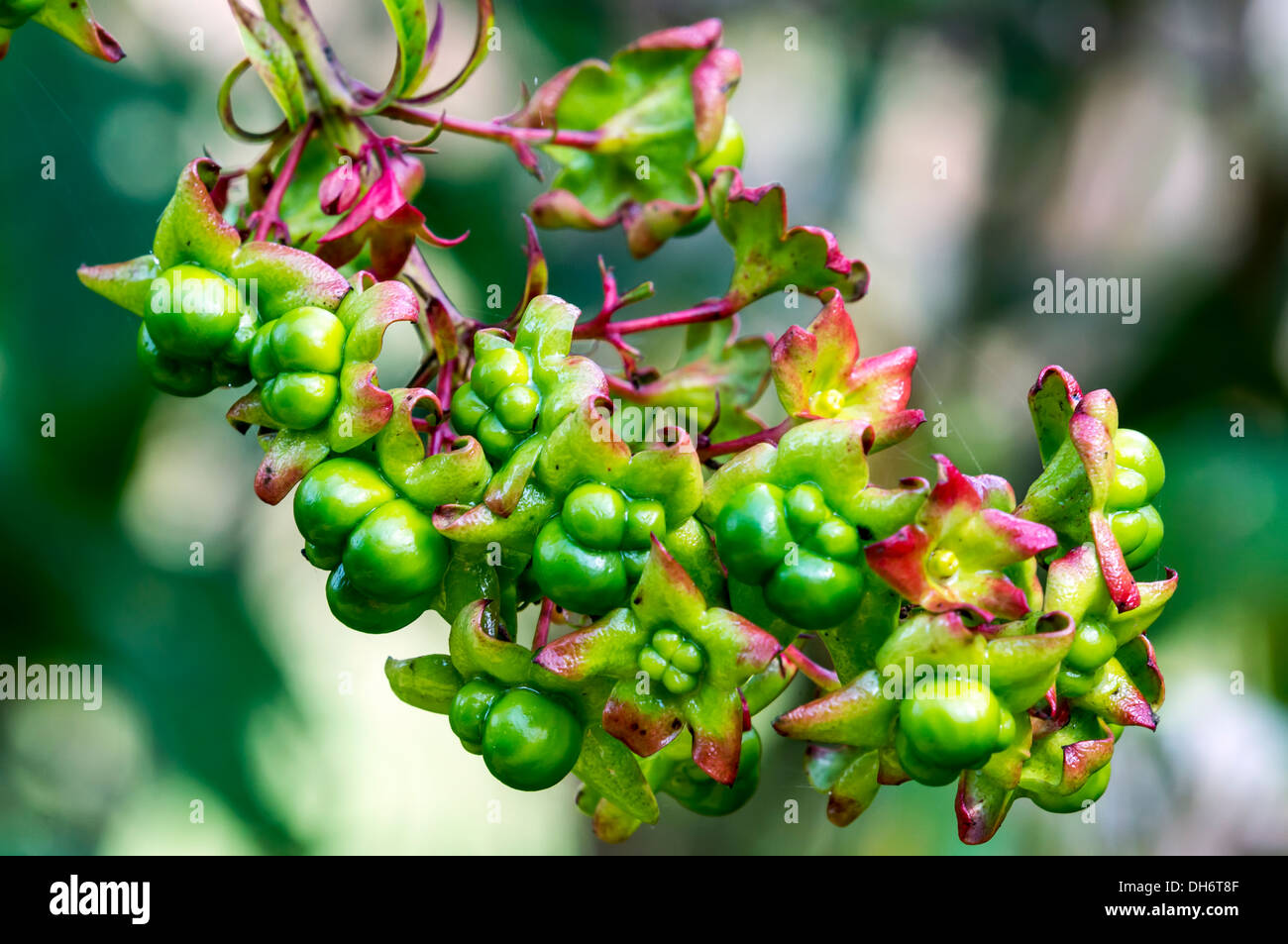 Harlequin Glory Bower (Clerodendrum trichotomum) or Peanut Butter Shrub with green berries and calyxes in North Florida, USA. - Stock Image