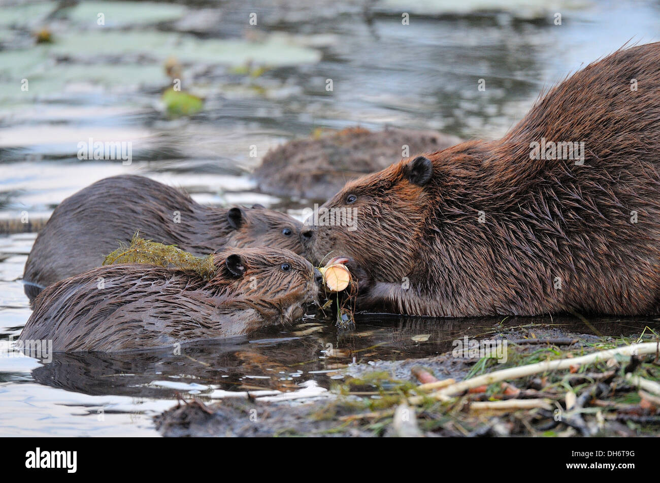 A mother beaver lets 2 small young beavers chew bark off the same piece of aspen tree. - Stock Image