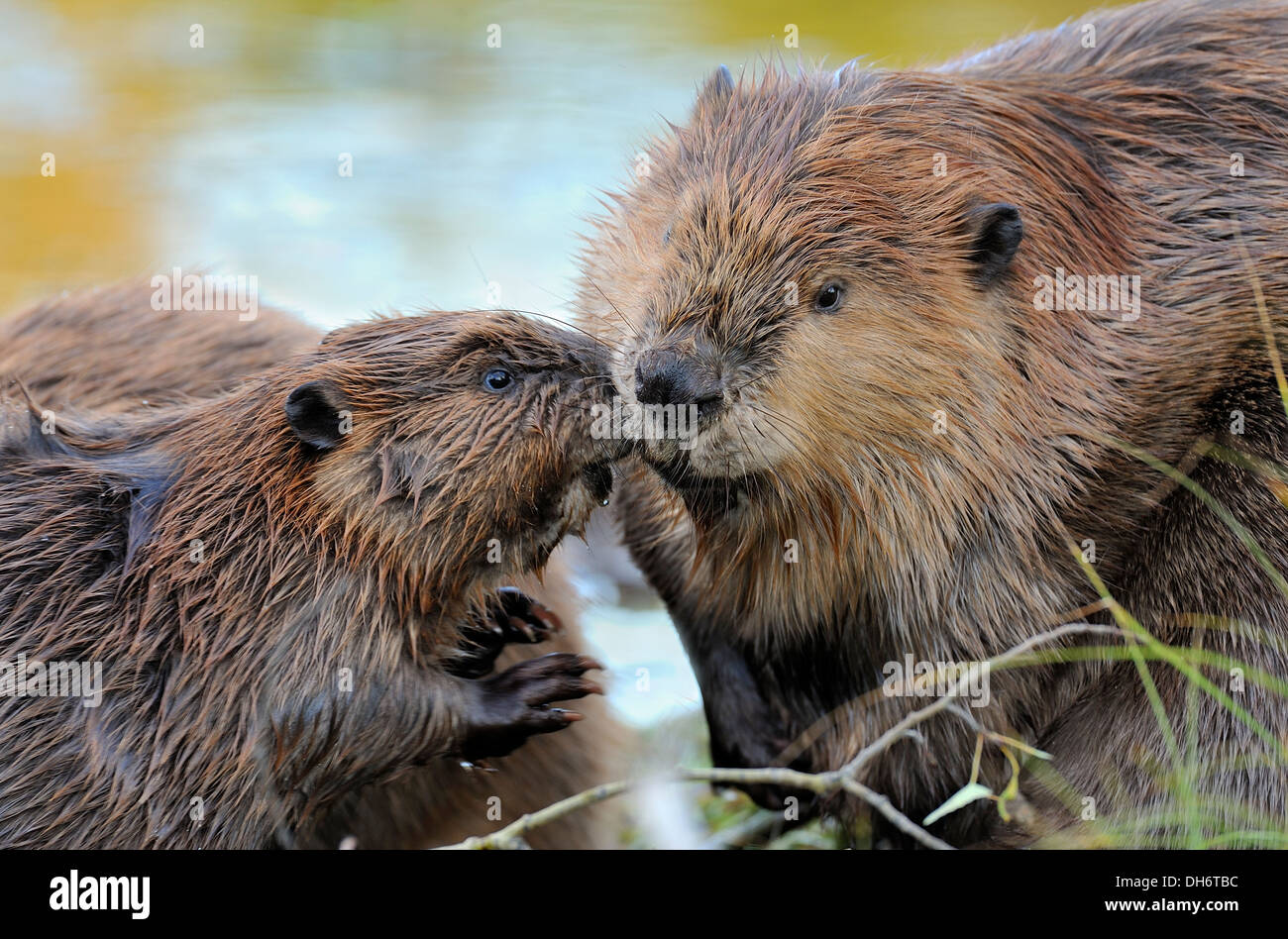 A kit beaver nuzzles its mother as they rest by the calm waters - Stock Image